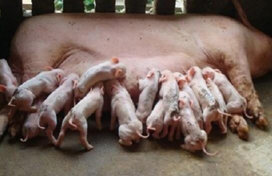 母猪乳房萎缩退化与仔猪过早教槽和滥用教槽料密切相关