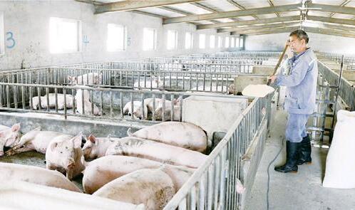 未来养猪采用什么模式才能稳定的赚钱
