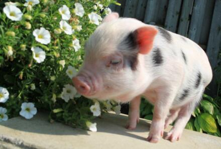 2017年5月29日(20至30公斤)仔猪价格行情走势