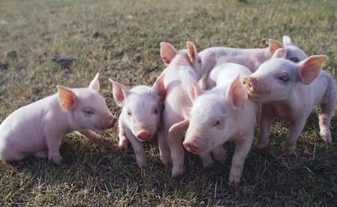 养猪人的心在淌血,六月生猪价格会止跌吗?