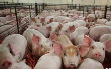 一头猪的利润已经不足300元 养殖户不能在恐慌了