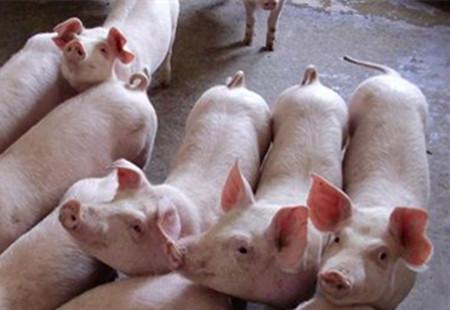 市场购猪苗的惨痛教训!低迷猪市养好猪要重视每个细节