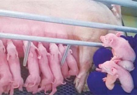 要想母猪PSY超过25,这几个关键点必须做好!