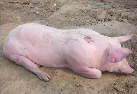 猪胀气急救办法,真能救猪命!