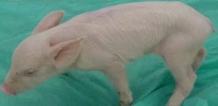 如何鉴别与管理病弱猪?