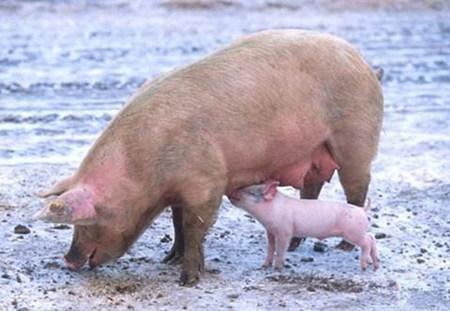 做好这6点,解决夏季母猪低受胎率问题