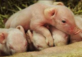 初生乳仔猪一周内的管理