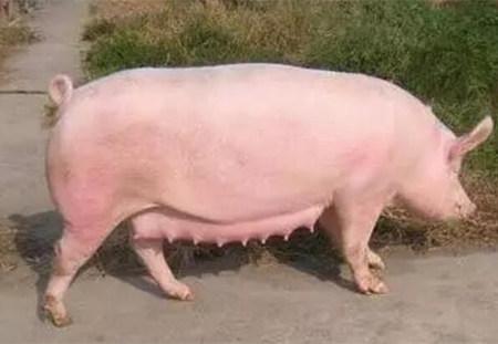 对于连乳池都没有的猪乳房来说,应该如何让其发挥最大潜能?