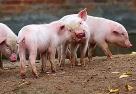 全程图解,告诉你应该如何给公猪采精!