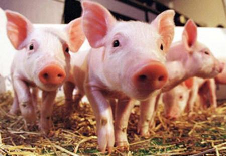 六月养猪需要注意的四大事项
