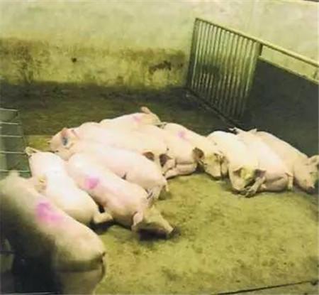 猪只感受到温暖和寒冷时会有什么行为?