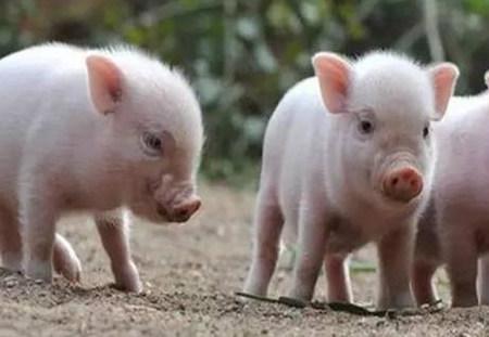 提高哺乳仔猪成活率的主要措施