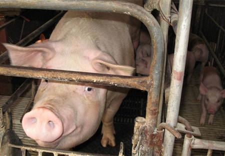这些母猪饲养技巧你知道多少?