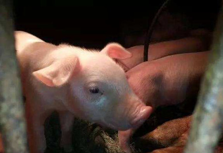初生仔猪温度管理,您做的是否到位?
