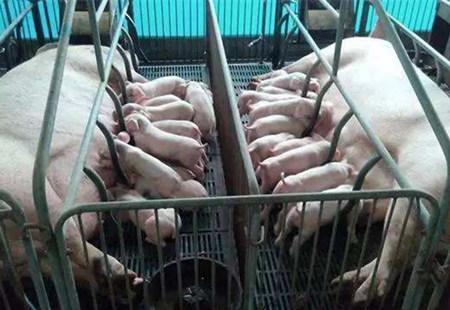 母猪养不好,这些养殖小细节你都知道吗?实用性太强了!