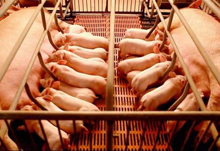 夏季重点关注:母猪奶水不足不仅影响仔猪生长性能,更影响…