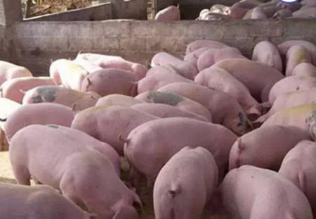 养猪人的春夏秋冬,每个季节都有每个季节要操心的事!