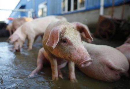 防控有道 —— 暴雨渍水后猪场管理关键点