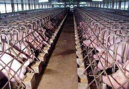 养猪场管理六大漏洞,漏出去的都是钱!