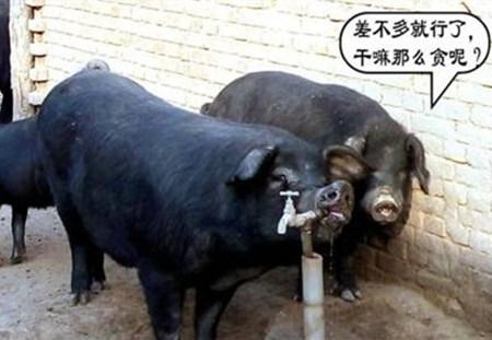 夏季高温高湿来袭,养猪要注意了...
