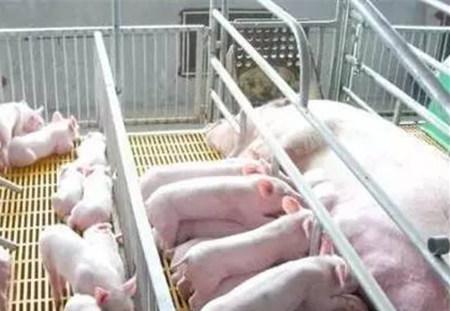 如何降低养猪成本,这几招不错!