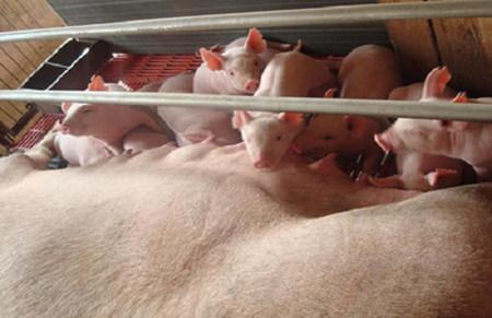 湿热季节对于养猪生产成绩的影响及对策!