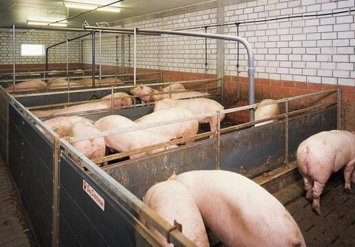 后备母猪的培育,猪舍的合理改造,该怎么做?
