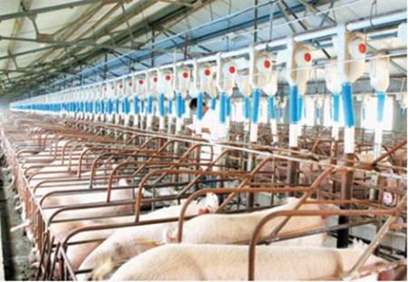 养猪规模化前景好,赚钱的到底是大规模还是小规模?