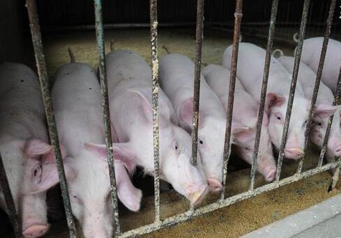 猪价跌跌不休,8月份可以领补贴,养猪人要去申请