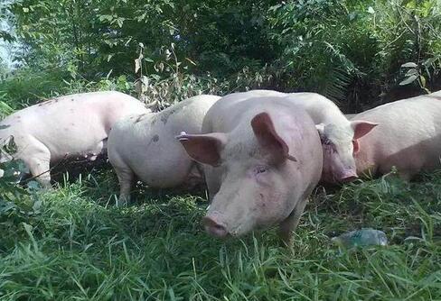 环保重压下养猪业发展受限 种养结合处理猪粪可行吗?