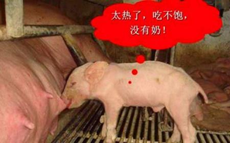炎炎夏日,母猪如何耐住高温?