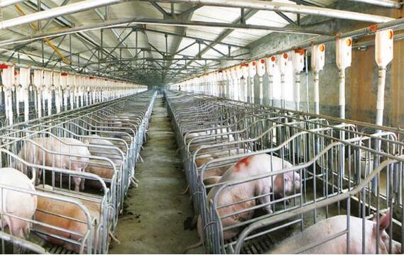 学会科学养猪 学习研究并借鉴养猪场工厂化养猪的成功经验