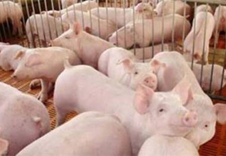 养猪成本过高?因为你不注意这个问题