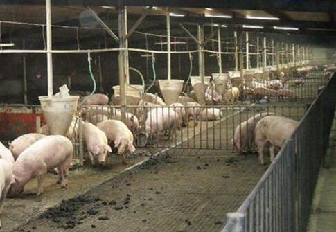 养猪人如何选择饲喂设备?这些优缺点你得把握好