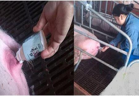 母猪妊娠不容易,产后消炎、保健需注意!