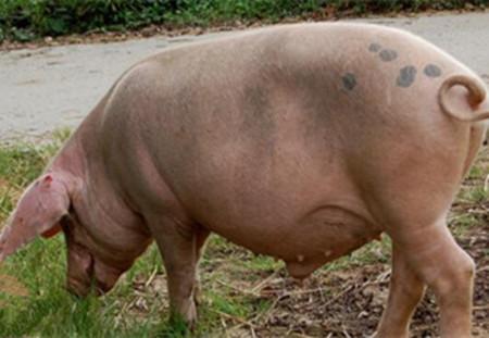母猪为什么会出现假怀孕?