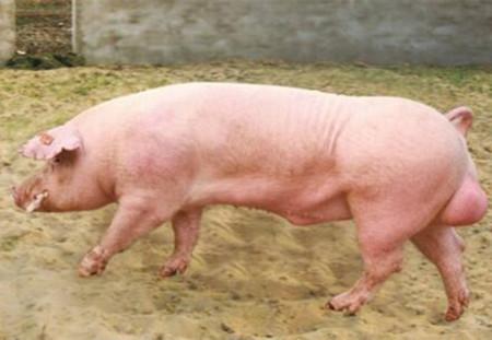 大数据告诉你关于公猪精液的10个问题