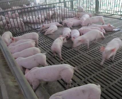 发酵床养猪的优点有哪些?最起码不让乡亲们闻臭味了