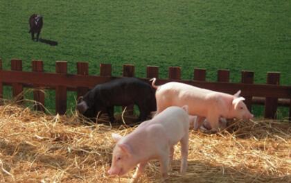 一周综述:猪价上涨显异常 偏强态势或难以持续