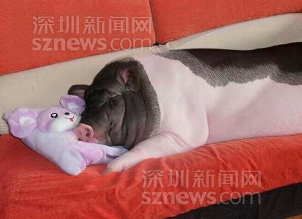 布吉居民家中养了只400斤的宠物猪 是否合规引发热议