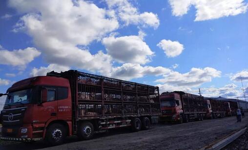 千头优质加系种猪跨越10个省落户黑龙江