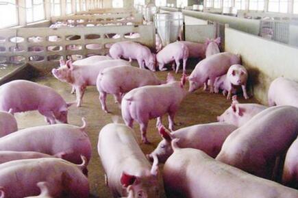你信吗?越南猪进入中国反倒有利于咱们养户?
