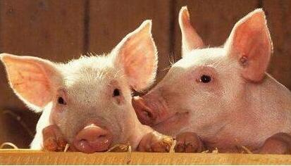 可爱的猪吃食的照片