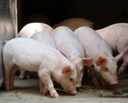 想在农村养猪致富?别做梦了 光是这公司就能把你挤死