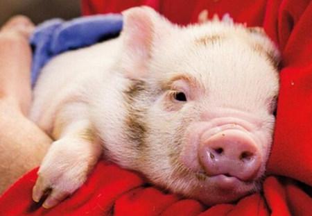 猪寄生虫病对养猪场有什么影响,猪寄生虫病为啥不好?