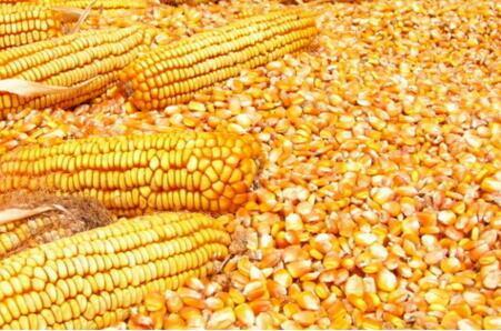 6月15日国内油脂、粕类、小麦及玉米价格行情