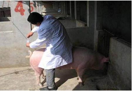 母猪人工授精这三点最重要,养猪人必须要注意!