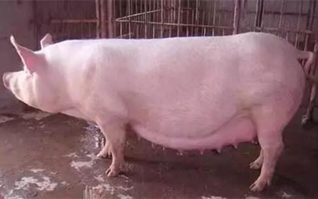 猪妈妈难产怎么办?别怕,绝招在这!