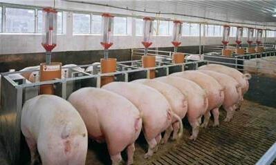 猪场水泡粪模式要注意什么?
