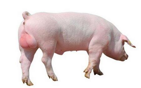 购进种公猪需要注意的几个问题,不然后患无穷